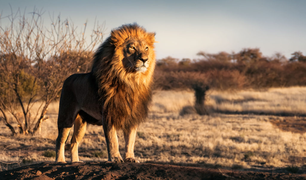 Regal lion standing proudly in the plains of Tanzania